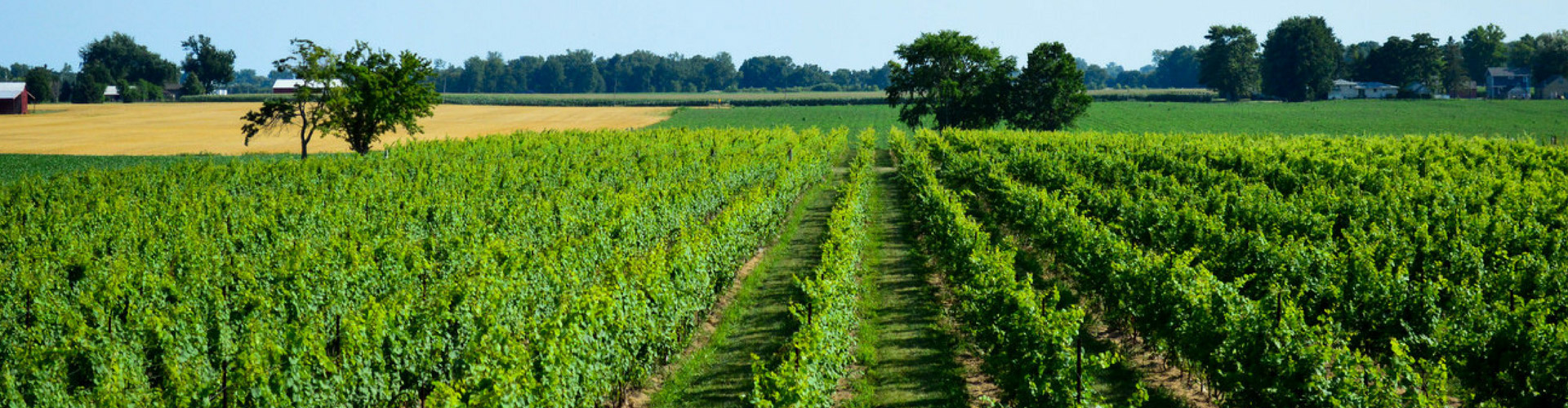 Lush green vineyard